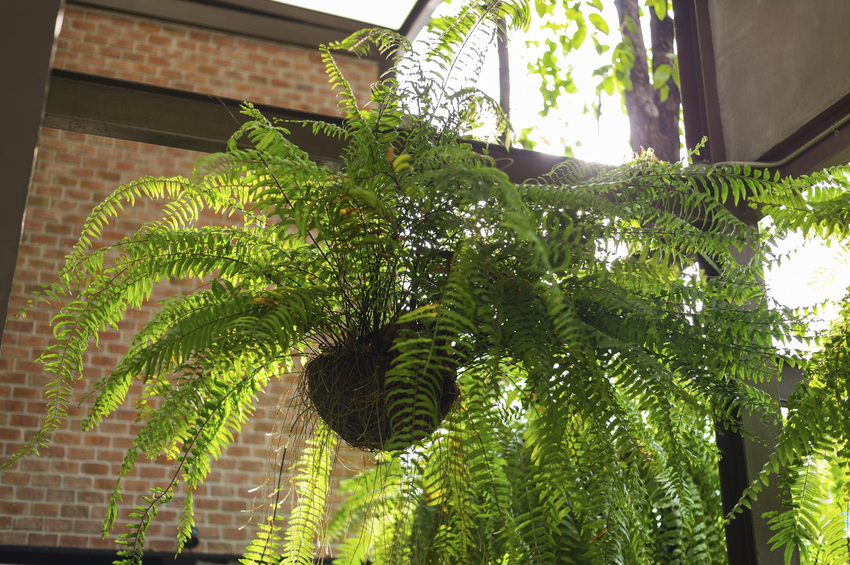 Ці кімнатні рослини очищують повітря і подовжують життя